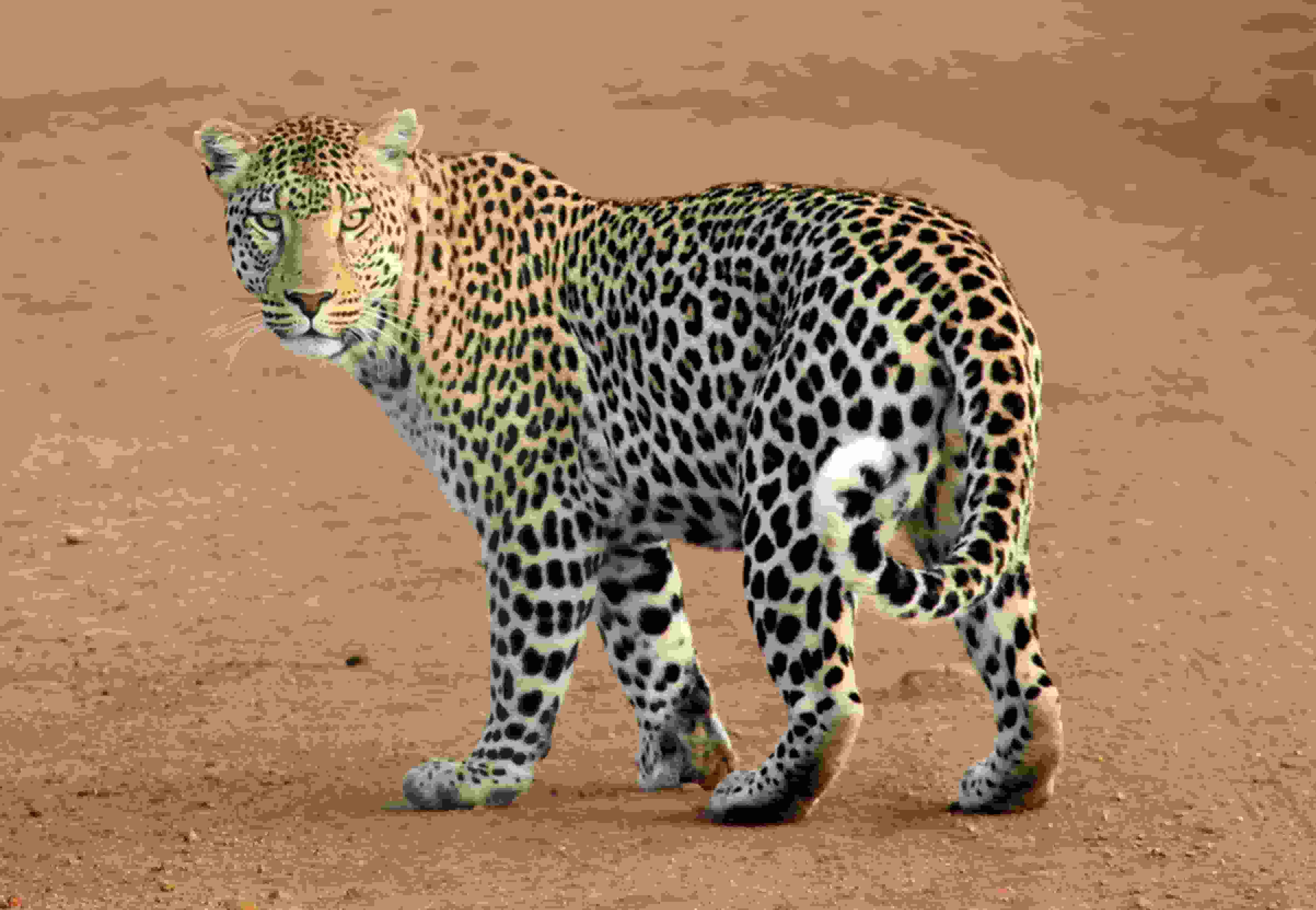 animal-leopard-predator-39857 (1)