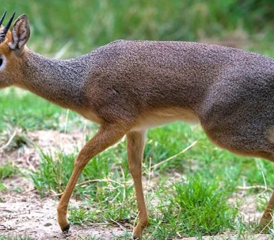 Dik Dik Safari
