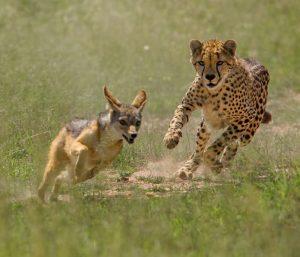 Mara Safaris