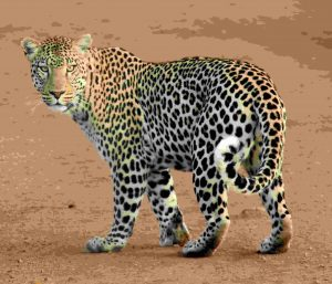 animal-leopard-predator-39857 (1)