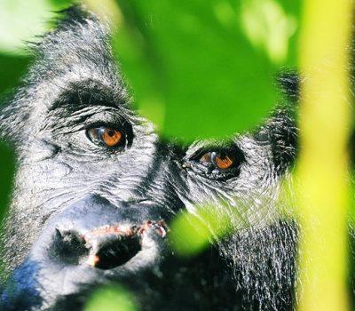 uganda apes