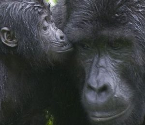 uganda chimps